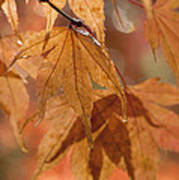 Autumn Acer Poster by Anne Gilbert