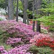 Azaleas Galore Poster by Eggers Photography