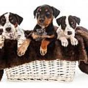 Basket Of Rottweiler Mixed Breed Puppies Poster by Susan  Schmitz
