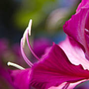 Bauhinia Purpurea - Hawaiian Orchid Tree Poster by Sharon Mau