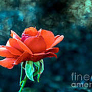 Beautiful Red Rose Poster by Robert Bales