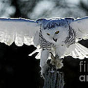 Beauty In Motion- Snowy Owl Landing Poster by Inspired Nature Photography Fine Art Photography
