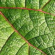 Big Green Leaf 5d22460 Poster by Wingsdomain Art and Photography