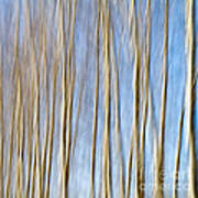 Birch Trees Poster by Stelios Kleanthous