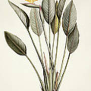 Bird Of Paradise Poster by Pierre Joseph Redoute