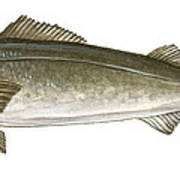 Black Cod Poster by Logan Parsons