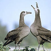 Black-footed Albatross Courtship Dance Poster by Tui De Roy