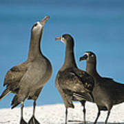 Black-footed Albatross Gamming Group Poster by Tui De Roy