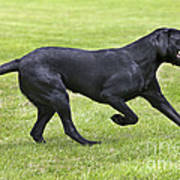 Black Labrador Playing Poster by Johan De Meester