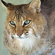 Blue Eyed Bobcat Poster by Jennifer  King