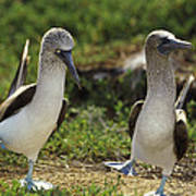 Blue-footed Booby Pair In Courtship Poster by Tui De Roy