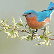 Bluebird Floral Poster by William Jobes