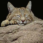 Bobcat, Arizona Poster by Art Wolfe