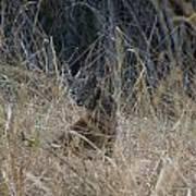 Bobcat Kitten In The Underbrush Poster by Scott Lenhart