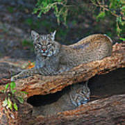 Bobcats At Rest Poster by Jean Clark