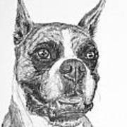 Boxer Dog Sketch Poster by Kate Sumners