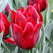 Brilliant Red Tulips In The Garden Poster by Jennie Marie Schell