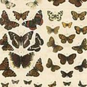 British Butterflies Poster by English School