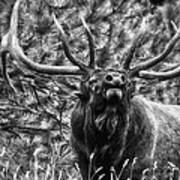 Bull Elk Bugling Black And White Poster by Ron White