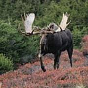 Bull Moose In Autumn Poster by Tim Grams