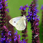 Cabbage White Butterfly Poster by Christina Rollo