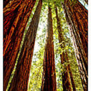 California Coastal Redwoods Poster by Artist and Photographer Laura Wrede