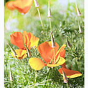 California Poppies Poster by Artist and Photographer Laura Wrede