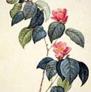 Camellia Japonica Poster by Pierre Joseph Redoute