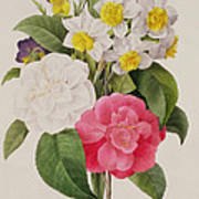 Camellias Narcissus And Pansies Poster by Pierre Joseph Redoute