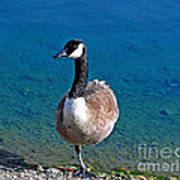 Canada Goose On One Leg Poster by Susan Wiedmann