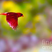 Cardinal In Flight Poster by Dan Friend