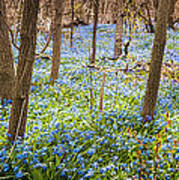 Carpet Of Blue Flowers In Spring Forest Poster by Elena Elisseeva