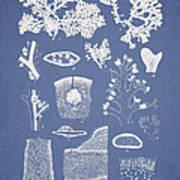 Carpopeltis Rigida Poster by Aged Pixel