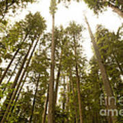 Cathedral Forest Poster by Artist and Photographer Laura Wrede