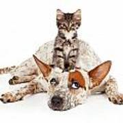 Catte Dog With Kitten On His Head Poster by Susan Schmitz