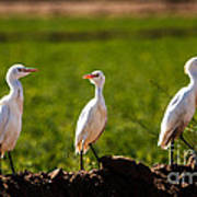 Cattle Egrets Poster by Robert Bales