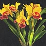 Cattleya Orchid Poster by Richard Harpum