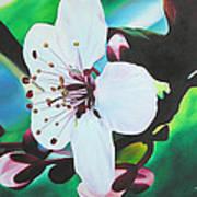 Cherry Blosom Poster by Joshua Morton