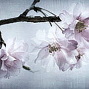 Cherry Blossom Sweetness Poster by Kathy Clark