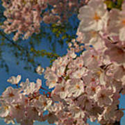 Cherry Blossoms 2013 - 035 Poster by Metro DC Photography