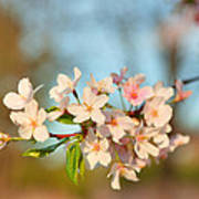 Cherry Blossoms 2013 - 073 Poster by Metro DC Photography