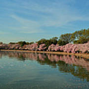 Cherry Blossoms 2013 - 087 Poster by Metro DC Photography