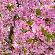 Cherry Blossoms 2013 - 097 Poster by Metro DC Photography