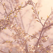 Cherry Blossoms Poster by Diane Diederich