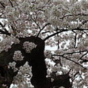 Cherry Blossoms - Washington Dc - 0113114 Poster by DC Photographer