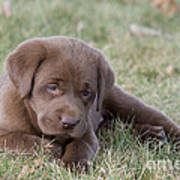 Chocolate Labrador Puppy Poster by Linda Freshwaters Arndt