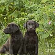 Chocolate Labrador Retriever Puppies Poster by Linda Freshwaters Arndt