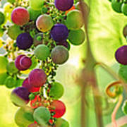 Colorful Grapes Poster by Peggy Collins
