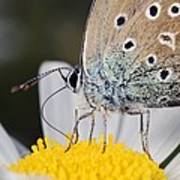 Common Blue Butterfly Poster by Science Photo Library