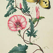 Convolvulus With Yellow Butterfly Poster by English School
